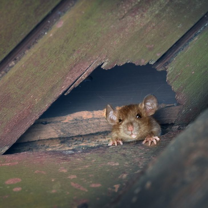 The ship rat, roof rat, or house rat peeps out of a hole in the roof